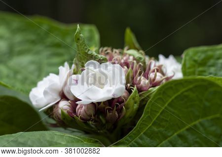 Glory Bower, Rose Clerodendrum, Burma Conehead Or Lady Nugent's Rose Bloom In The Garden Is Herb Of
