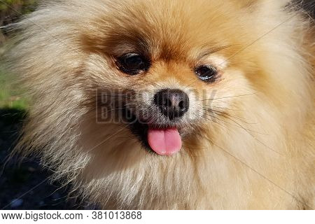 Adorable Cute Little Brown Pomeranian Little Dog. Standing And Looking At The Camera And Smiling