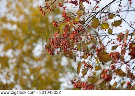 Red Viburnum Branch In The Garden. Viburnum Viburnum Opulus Berries And Leaves Outdoor In Autumn Fal