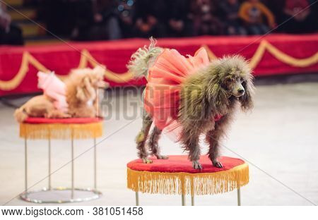 Dogs Performance In The Circus. Circus Performance