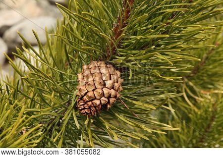 Single Closed Brown Lodgepole Pinecone (pinus Contorta) On A Branch With Green Needles In Beartooth
