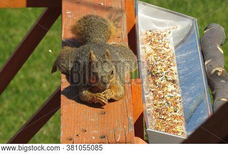 Funny Eastern Fox Squirrel (sciurus Niger) Sprawled On A Deck Railing Eating A Peanut, Beside A Bird