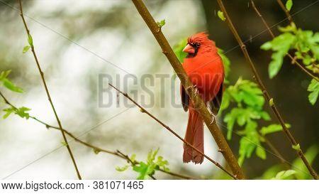Male Northern Cardinal In An Oak Tree In Winter, Red Male Northern Cardinal Isolated Against Green B
