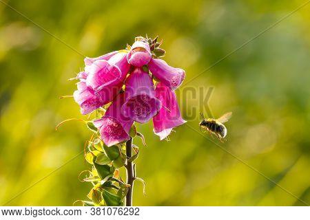 Digitalis Purpurea, Foxglove Or Honeydew Flower With Bee Flying Next To To It
