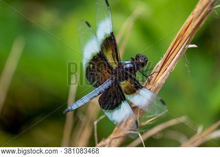 A Male Widow Skimmer Perches On A Twig. Apex, North Carolina.