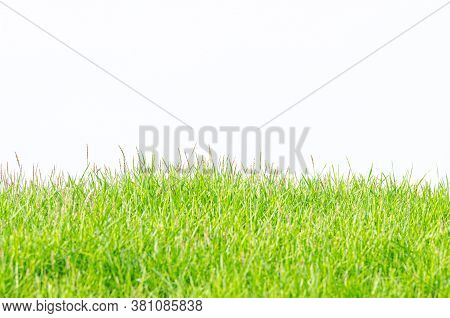 Background And Texture Of Side View Kerean Lawn Grass Or Japanese Lawn Grass  Isolated On White Back