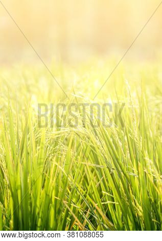 Beautiful Golden Light Cover Rice Field. Blurred Image Of Morning Light On Rice Field. Vertical Imag