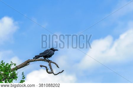 Crow Perched On High Branch