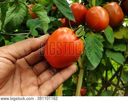 A Farmer Harvesting Tomatoes From Organic Farm In Hilly Area Of Himachal Pradesh, India
