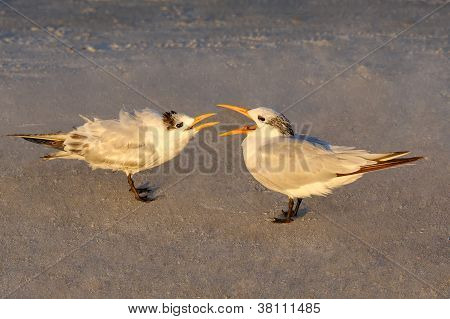 Mother Royal Tern Feeding Baby In Early Morning Light