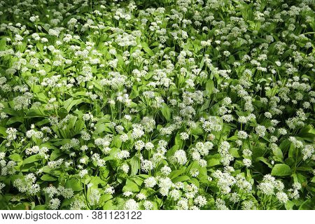 Flowering Ramson In Spring Forest. Allium Ursinum, Known As Wild Garlic, Ramsons, Buckrams, Bears Ga