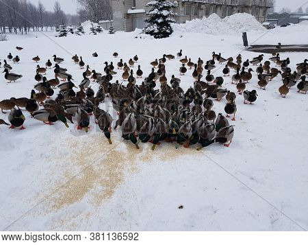Many Ducks Eat In The Snow