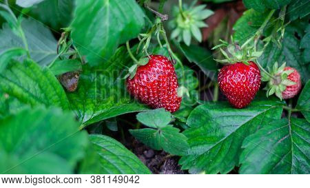 Strawberry Plant. Strawberry Bush. Strawberries In Growth At Garden. Ripe Berries And Foliage. Rows