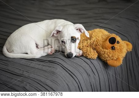 Cute Little Dog White Jack Russell Terrier Lies On The Bed In The Bedroom With Toy Bear