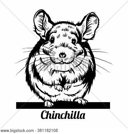 Peeking Chinchilla - Funny Chinchilla Pig Peeking Out - Face Head Isolated On White