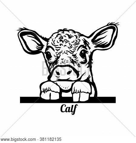 Peeking Calf - Funny Calf Peeking Out - Face Head Isolated On White
