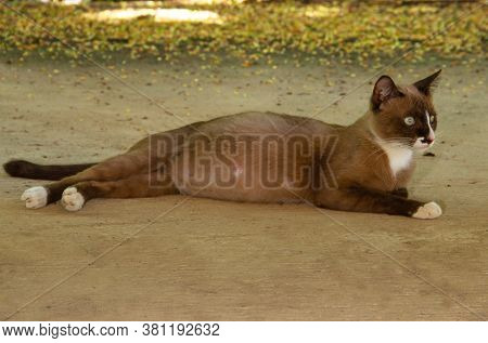 The Brown Cat Was Pregnant  Lying On The Ground