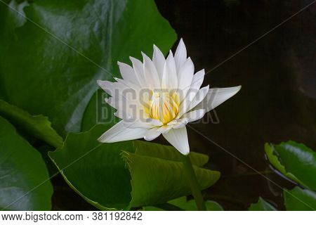 The White Lotus Is Blooming In The Pond