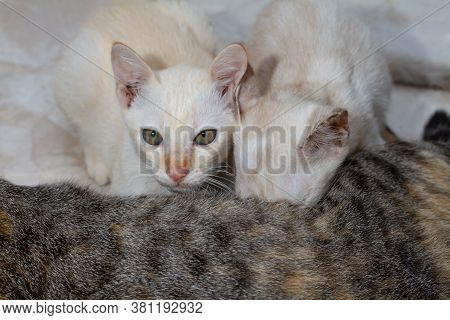 Two Little Kittens Suck Milk From His Mother Cat