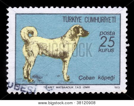 Turkish Sivas Kangal Dog