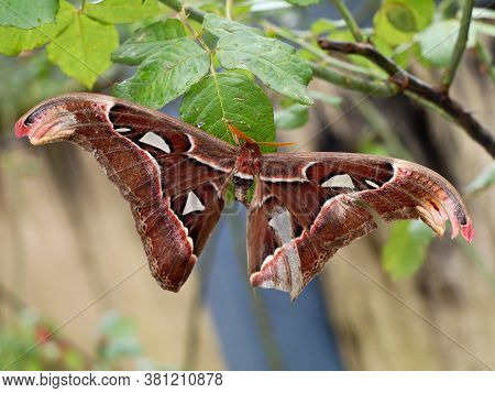 A Big Size  Night Butterfly Or Moth Belonging To The Paraphyletic Group Of Insects