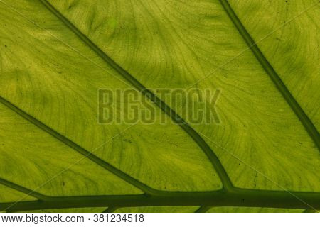 Macro Image Of A Plant Leaf With Structures In The Backlight Photographed