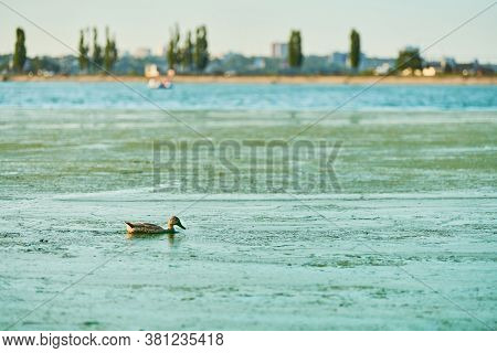Duck Swimming In Algal Bloom City Lake, Copy Space. Mallard Duck On Water. Birdwatching And Ornithol