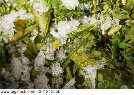 Frozen Green Fresh Parsley Macro. Storage Of Frozen Food. Frozen Product. Chopped Parsley In A Conta