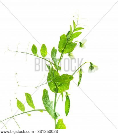 Peas Plant. Pods Of Young Green Peas. Sweet Pea (pisum Sativum). Branch Of Green Pea On White Backgr