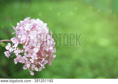 Hydrangea Flower Over Green Grass Background. Beautiful Pink Flower Growing In A Garden. Tender And