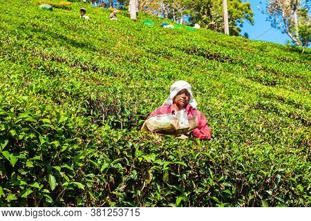 Munnar, India - March 16, 2012: Unidentified Woman Picking Tea Leaves At The Tea Plantation In Munna