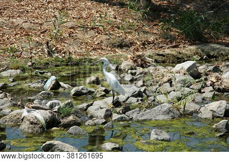 Great White Egret. A Beautiful Great White Egret fishes for small fish and insects to eat. Outdoor wild animals.
