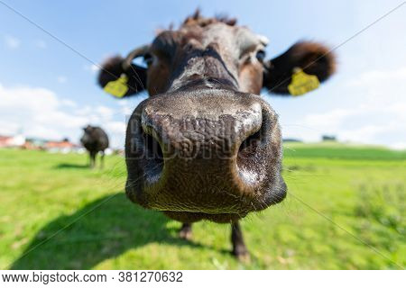 A Wagyu Cow Stands On A Green Meadow