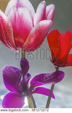 Tulip In Spring In Arrangement With Cyclamen