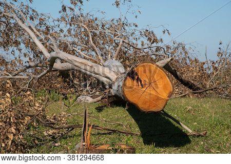 Tree Trunk Of Sawn And In Natura Eucaliptus 01