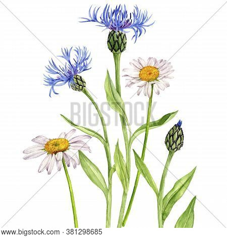 Watercolor Drawing Flowers , Floral Composition With Cornflowers And Daisies, Bouquet Of Wildflowers