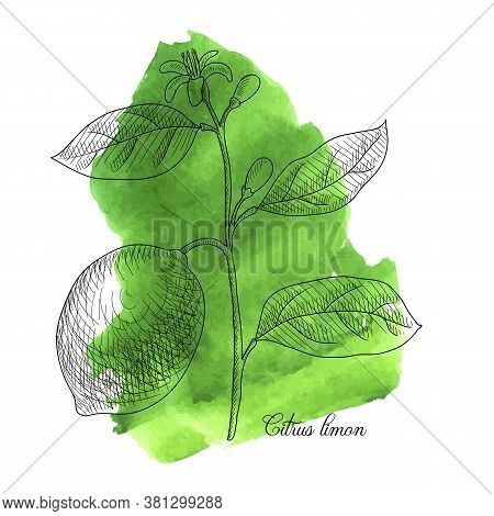 Vector Drawing Lemon Branch , Citrus Limon At Green Watercolor Background, Hand Drawn Illustration