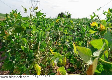 Soybean Plants (glicyne Max) With Pods Formed At Pre-harvest Point