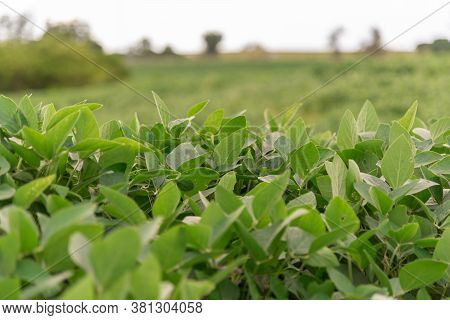 Soybean Plant Cultivars For Agricultural Production