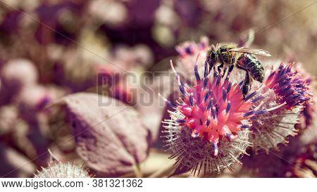 Horizontal Panoramic View Of Single Common Honey Bee (apis Mellifera) Flying Off Thistle Flower.