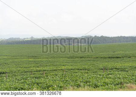Pre-flowering Soybean Plantation In Brazil