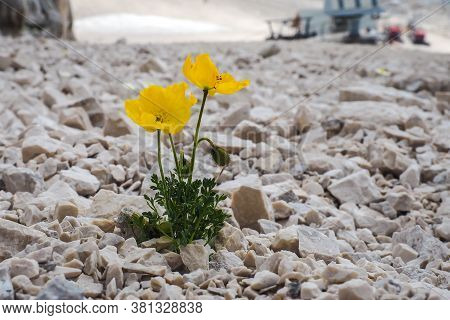 Close Up Of A Yellow Anemone Ranunculoides Blooming In Mountains, Alps, Slovenia