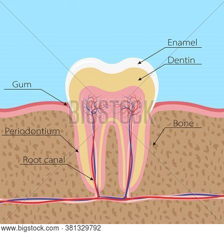 Structure Of The Human Tooth. The Tooth Is Incised In The Gum, With Nerves And Blood Vessels. Infogr