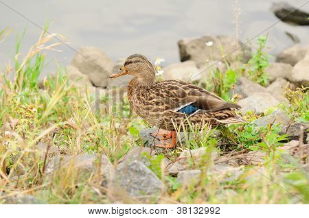 Full length shot of a female mallard duck standing on the river bank - horizontal orientation poster