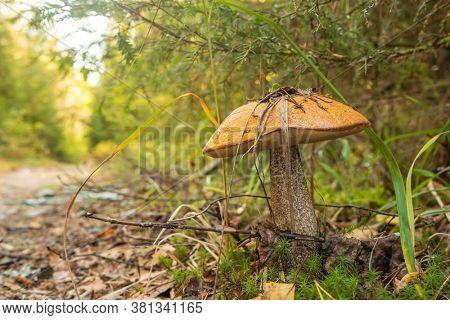 Birch bolete mushroom in in the autumn forest. Autumn forest eatable mushroom close-up.