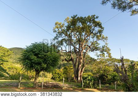 Natural Landscape. Cinamom (melia Azedarach) And Umbú (phytolacca Dioica L.). Mountain Region Of The