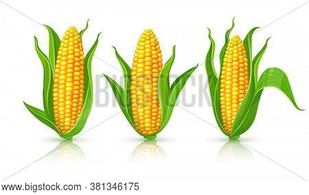 Corncobs with yellow corns and green leaves set, white background. Ripe corn vegetables isolated. 3D illustration.