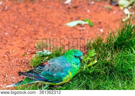 Red-rumped Parrot (psephotus Haematonotus, Aka Red-backed Parrot, Aka Grass Parrot) Sitting In The G