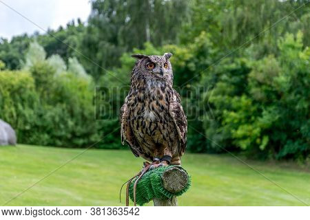 Eurasian Eagle-owl (bubo Bubo) In Front Of Green Meadow And Forest