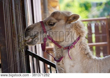 Close-up Of A Desert Dromedary Camel Facial Expression Eating Showing. Camel Eating Grass